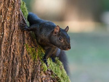 Eekhoorn komt achter boomstam vandaan von Muriel Polet