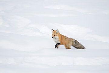 American Red Fox ( Vulpes vulpes fulva ) in winter, walking through deep snow van wunderbare Erde