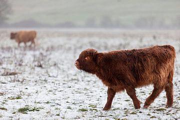 Schotse hooglander kalf in de sneeuw. van Miranda Geerts