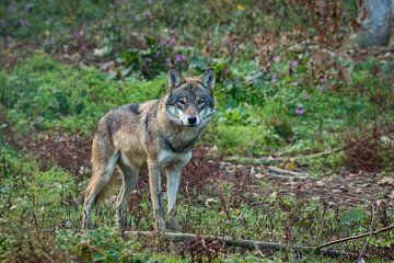 De wolf komt er aan van