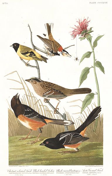Roodhalsgors van Birds of America