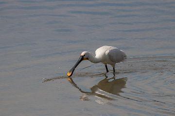 Lepelaar in het water van Bas Groenendijk