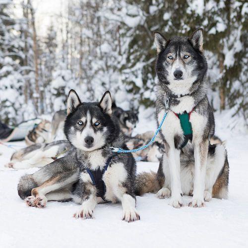 'Husky' Lapland van