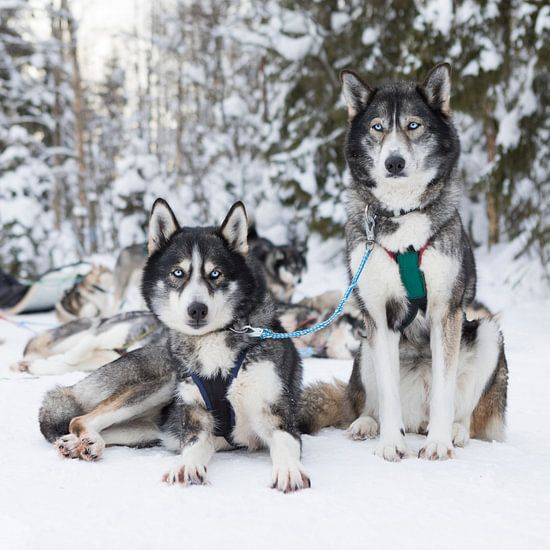 'Husky' Fins Lapland