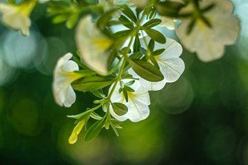 Tere-Blumen von Joke Beers-Blom