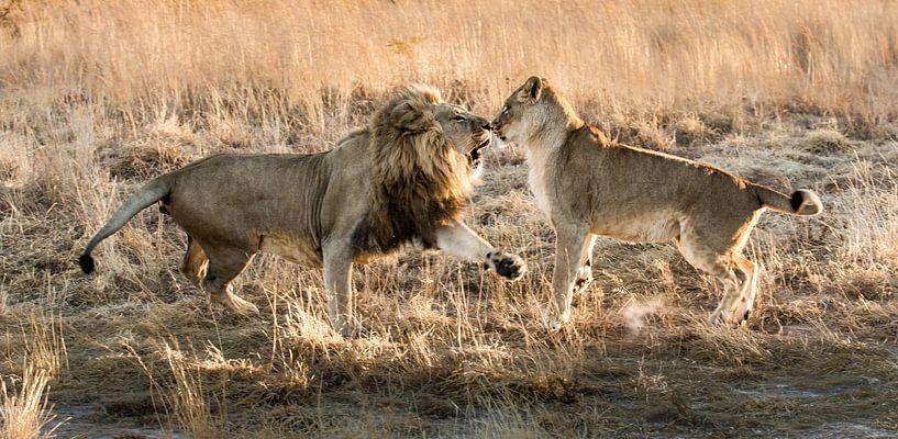 Kattengevecht (Cat fight) von Claudia van Zanten