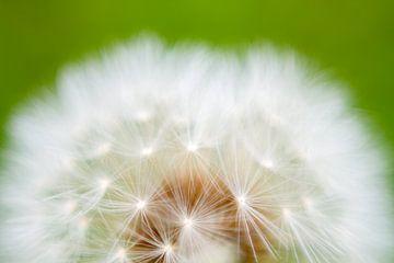 Flauschige Blume von Qeimoy