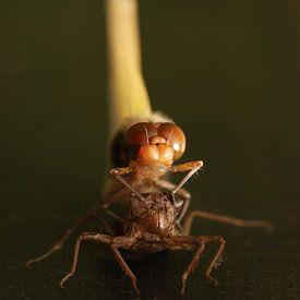 Uitgeslopen libellen van Margreet Frowijn