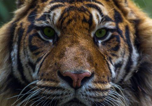 Close-up tijger van Arisca van 't Hof