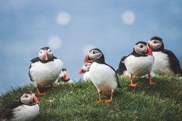 Groepje puffins op de Faeröer Eilanden van Expeditie Aardbol