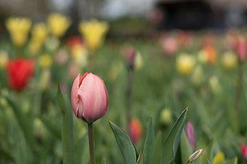 Rosa Tulpe in einem Blumenbeet von Lisette van Gameren