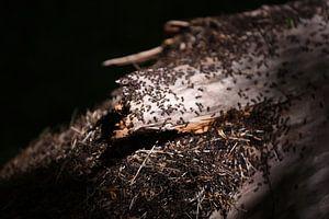 Nid de fourmis sur un arbre à Noordwijkse Duinen sur Maartje Abrahams