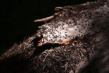 Mierennest op een boom in Noordwijkse Duinen van Maartje Abrahams