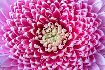 Nahaufnahme rosa Blume von Noud de Greef