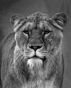 Löwin in schwarz und weiß