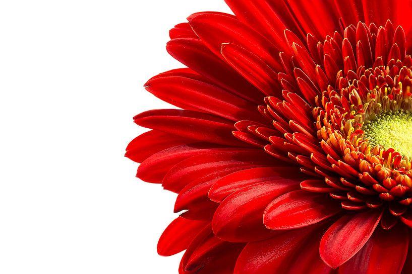 Gerbera rood van Tanja van Beuningen