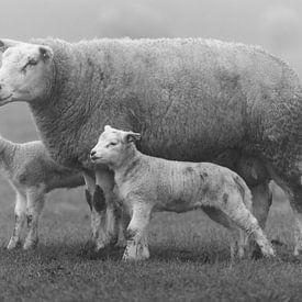 Texelse schapen van Ronald Timmer