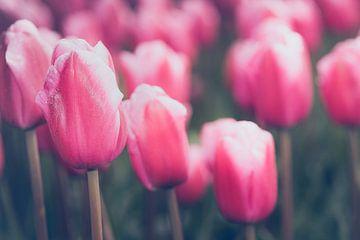 Bloeiende roze tulpen in landschap van Fotografiecor .nl