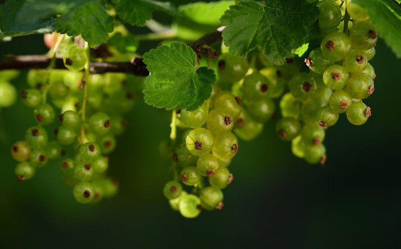 Groene bessen die aan een buitenstruik hangen van Ulrike Leone