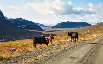 Kühe entlang der Straße in Norwegen. von Sran Vld Fotografie
