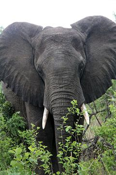 Afrikaanse olifant van Lotte van Dulmen