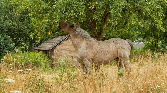 Snoepend paard in Bocholtz