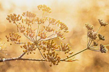 Venkel in ochtend zon Summerfeeling van Danny Hummel
