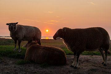 schapen op de dijk bij ondergaande zon van wil spijker