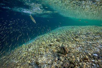 beekforel jaagt in een groep elritsen; brown trout is hunting minnows van Arthur de Bruin
