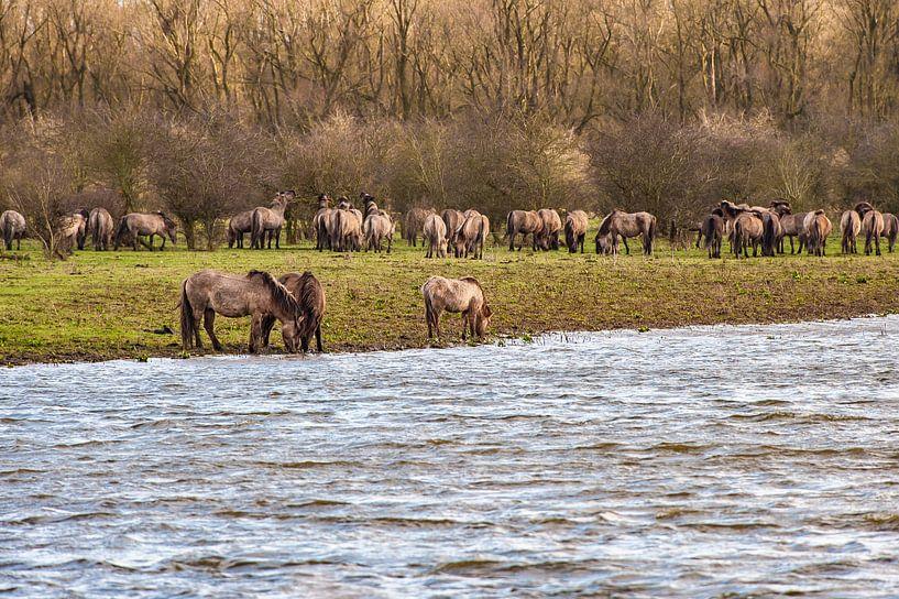 Konikpaarden grazend langs het water van Brian Morgan