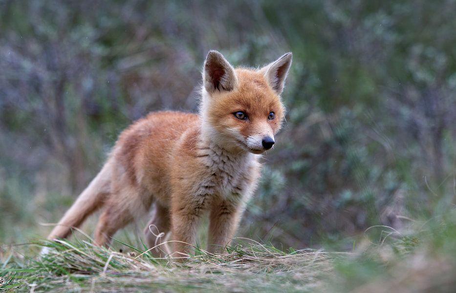 Jonge kleine vos