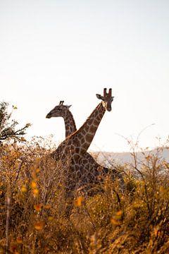 Giraffen op de savanne van Jarno Dorst