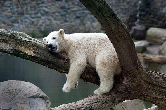 Jonge ijsbeer  van Luuk van der Lee