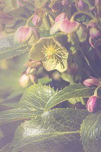 Nieskruid bloem (Helleborus sp.) van