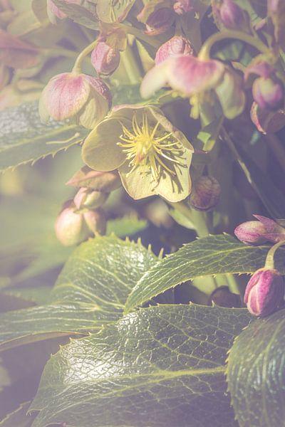 Nieskruid bloem (Helleborus sp.)
