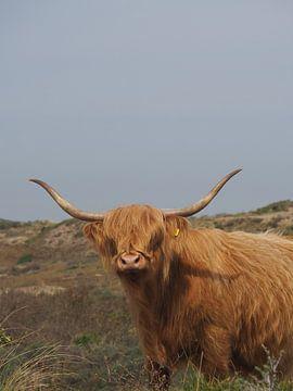 Schotse Hooglander van Marieke