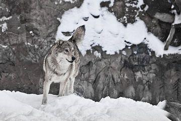 Loup sur fond de dessins chamaniques sur le rocher sur Michael Semenov