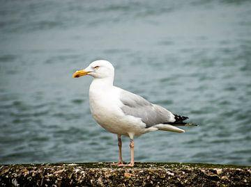 Meeuw aan de zee van Kashja Neels
