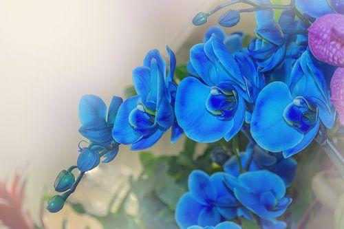 Blauwe orchidee van