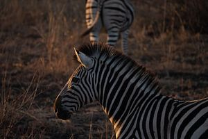 Zebra tijdens zonsondergang van Sander Huizinga