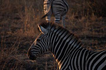 Zebra bei Sonnenuntergang von Sander Huizinga