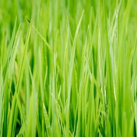 Rijstplantjes uit Thailand van Sven Wildschut