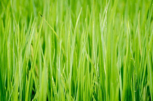 Rijstplantjes uit Thailand