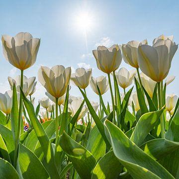 Weiße Tulpen an einem sonnigen Tag von Remco-Daniël Gielen Photography