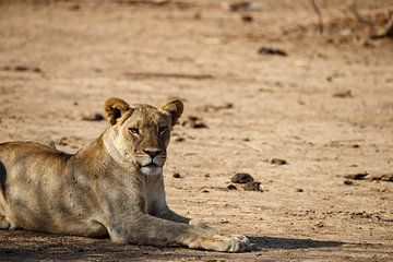 Leeuwin, South Luangwa National Park van Marco Kost