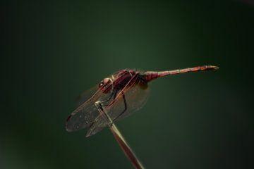 Red Veined Dropwing von BL Photography