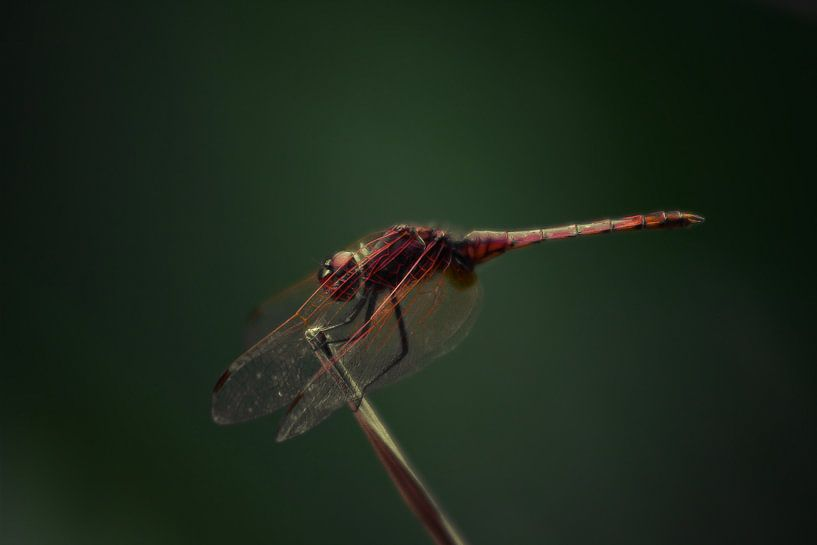 Red Veined Dropwing van BL Photography