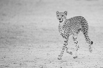 Glücklicher laufender Gepard von Sharing Wildlife