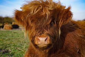 Kalb, schottischer Highlander