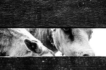 Schafe hinter dem Zaun von Ruud Dumas